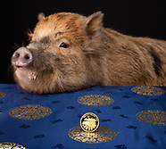 The Royal Mint | Micro Pig - Edit