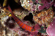Galapagos blue-banded goby, Lythrypnus gilberti, Galapagos Islands, Ecuador,  ( Eastern Pacific Ocean )