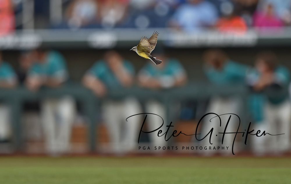 A bird fly's across the field before the start of game two of the College World Series Championship Series between the Arizona Wildcats and the Coastal Carolina Chanticleers at TD Ameritrade Park in Omaha, Nebraska.