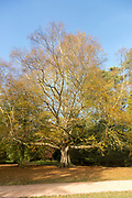 Erman birch tree, betula ermanii x pubescens, National arboretum, Westonbirt arboretum, Gloucestershire, England, UK