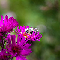 Closeup of a bee covered in pollen on a purple aster flower in late summer.