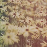 Yellow rudbeckia outdoors in a garden flower bed in England