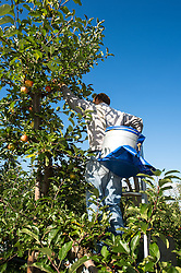 Apple Harvesting in October. Workers at Lathcoates Farm in Galleywood, Essex pick the ripened apples in the autumn sunshine. 2013 UK
