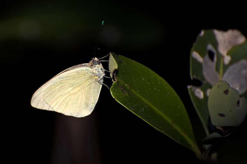A great southern white butterfly chased down and photographed among the mangroves on Coquina Beach, in Manatee County, Florida.