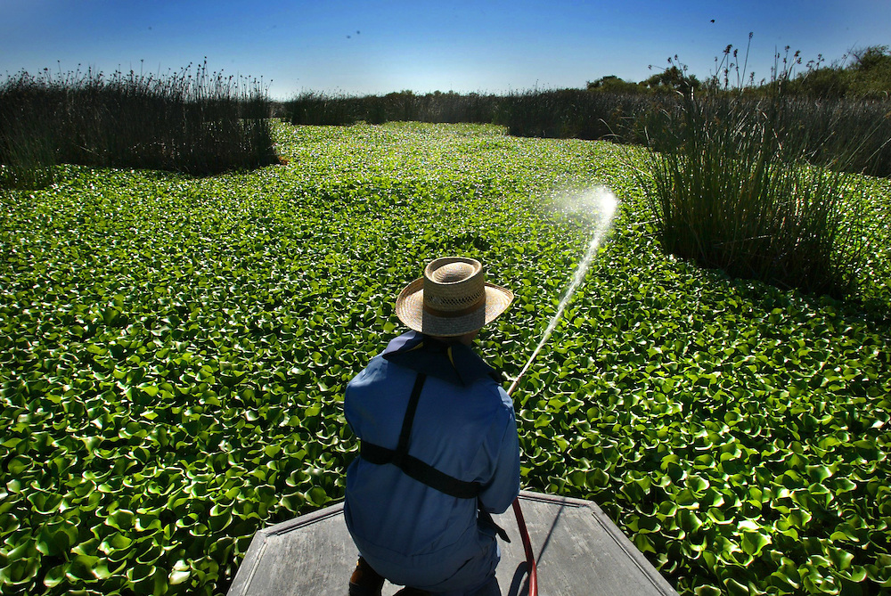 Paul Ryan an aquatic pest control technician for the Dept of Boating and Waterways, sprays a herbicide on water hyacinth along 14 mile slough near the deep water channel in Stockton.