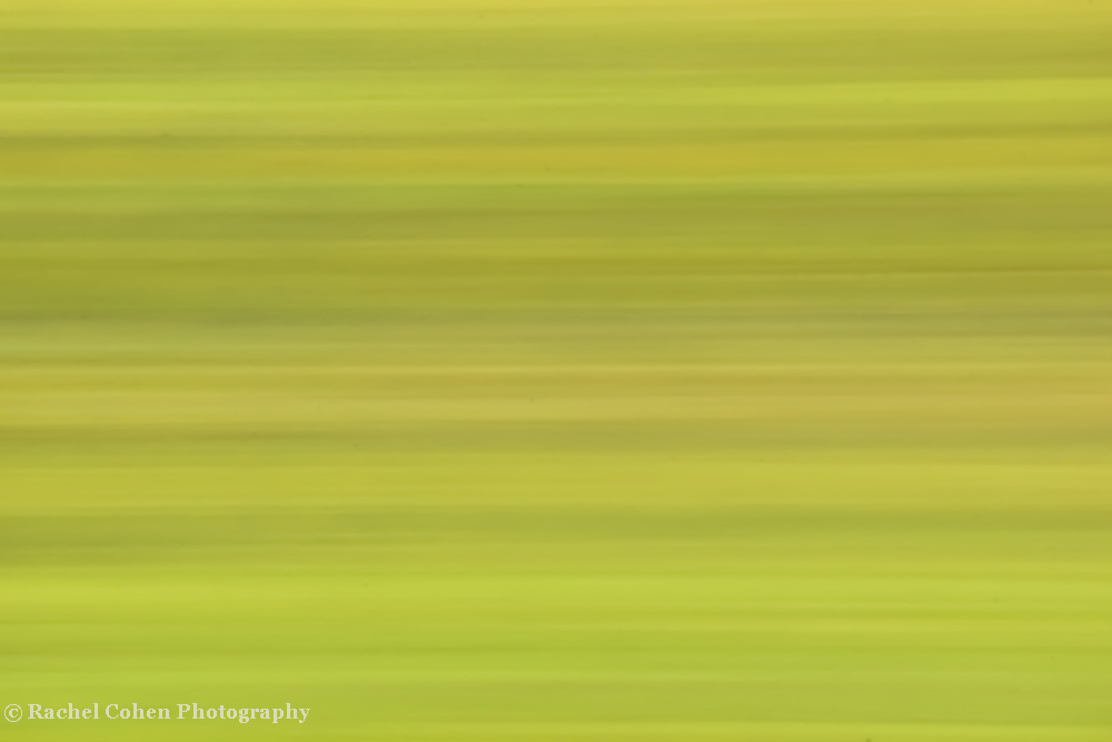 &quot;Autumn in Free-Fall&quot; 2<br /> <br /> The edge of autumn, just as the green begins to turn to yellow!<br /> Beautiful horizontal streams of varying shades of green and yellow are in a sideways free-fall!!<br /> <br /> Nature Abstracts by Rachel Cohen