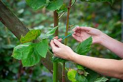 Tying in blackberry canes