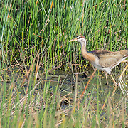 The bronze-winged jacana (Metopidius indicus) is a jacana. It is the only member of the genus Metopidius. The jacanas are a group of waders in the family Charadriidae, which are identifiable by their huge feet and claws which enable them to walk on floating vegetation in the shallow lakes that are their preferred habitat.