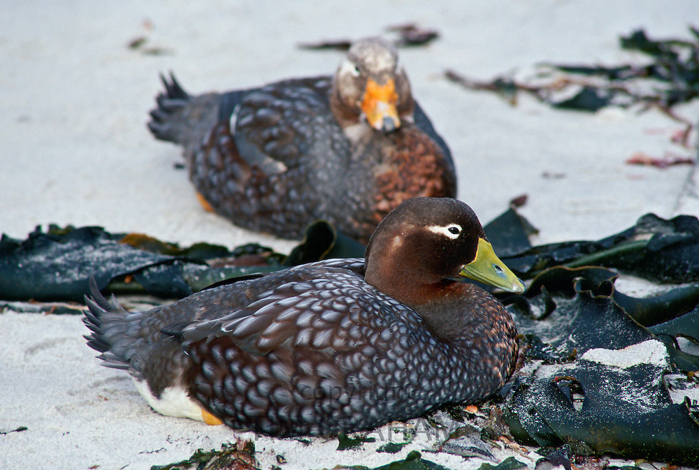 Pair of Steamer ducks, Sea Lion Island, Falkland Islands