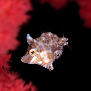 Minute Filefish Rudarius minutus at Lembeh Straits, Indonesia.