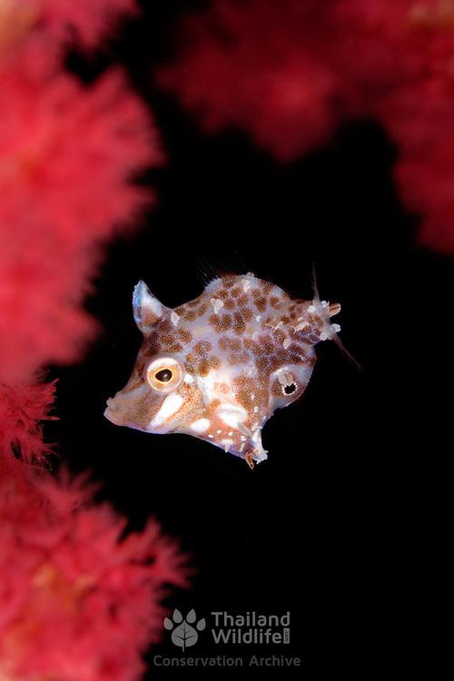 Minute Filefish Rudarius minutus at Lembeh Straits, Indonesia.