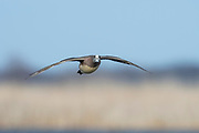 American Wigeon, Anas americana, male, Michigan