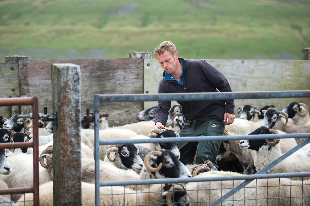 Farmer with Swaledale Sheep in Yorkshire, England, UK.