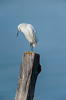 Snowy Egret (Egretta thula) perched on post in Lake Chapala, Ajijic, Jalisco, Mexico. Photo: Peter Llewellyn