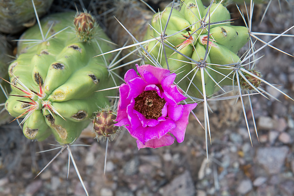 This beautiful thick, cylindrical cactus found here in Big Bend National Park in West Texas is a species with dozens of common names such as: straw-colored hedgehog, pitaya, alicoche, green strawberry hedgehog cactus, etc. It is found natively in the Chihuahuan Desert close to the Rio Grande, specifically in west and south Texas, Dona Ana County in southern New Mexico, as well as in the Mexican states of Chihuahua, Coahuila and Sonora. Recent spring rains have caused these plants to swell up with stored rainwater.