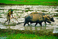 Plowing rice with water buffalo, Min Lwin Gone village, Yangon-Bago Highway, Burma (Myanmar)