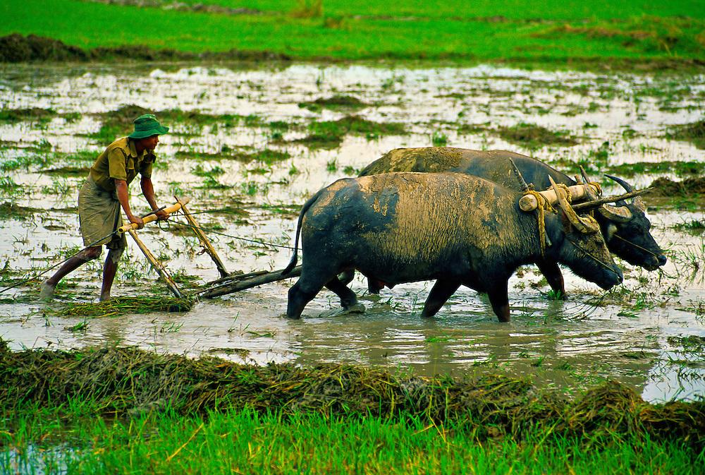 Plowing rice with water buffalo, Min Lwin Gone village, Yangon-Bago Highway, Burma (Myanmar)