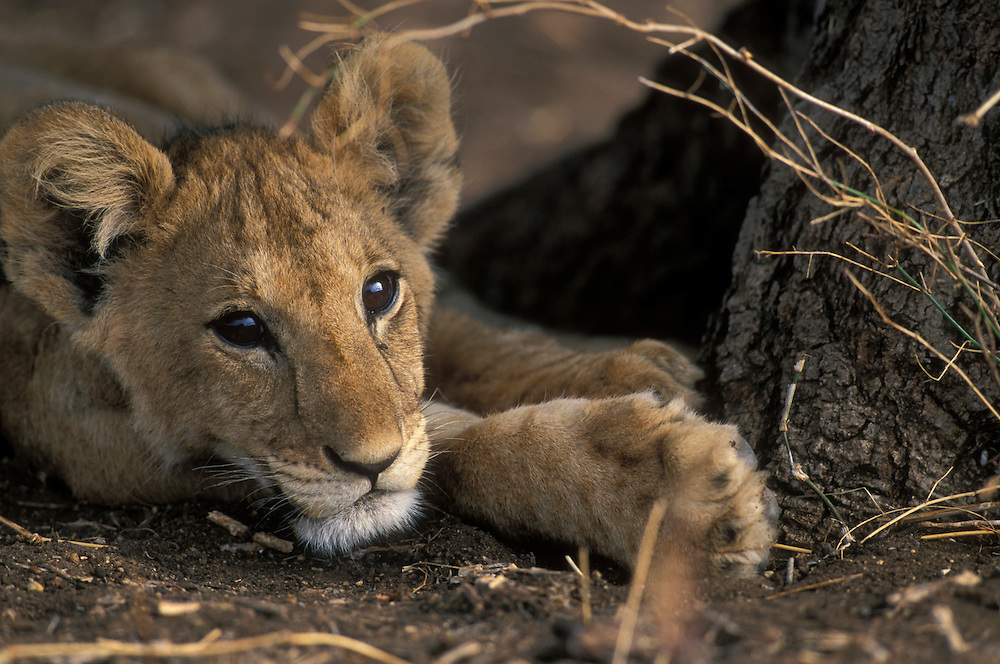 Africa, Tanzania, Tarangire National Park, Lion cub (Panthera leo) resting in shade in hills above Silale Swamp