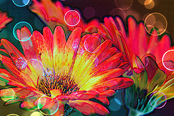 A fine art depiction of multicolored gerber daisy flowers under a spectrum of rainbow lighting with bold vibrant colors and circular geometry effects.