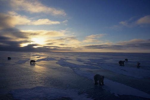 Polar Bear, (Ursus maritimus) Gathering on frozen ice of Churchill, Manitoba. Canada. Evening sun setting.