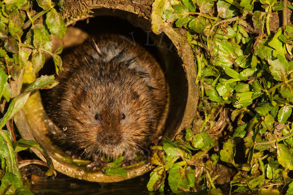 Water Vole (Arvicola terrestris) adult in drainage pipe, Norfolk, UK.