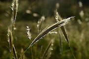 Native grass grows along the Arizona Trail at Gordon Hirabiyashi Recreation Area, a former World War II Japanese internment camp, Mount Lemmon, Santa Catalina Mountains, Coronado National Forest, Sonoran Desert, Tucson, Arizona, USA.