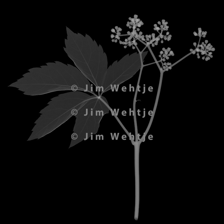 X-ray image of a Virginia creeper leaf and berries (Parthenocissus quinquefolia, white on black) by Jim Wehtje, specialist in x-ray art and design images.