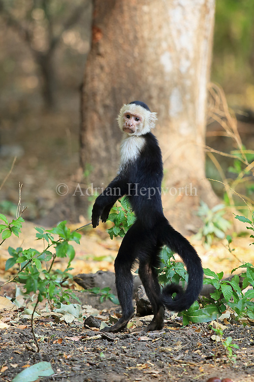 White-faced capuchin monkey (Cebus capucinus) standing on hind legs watching for predators. Palo Verde National Park, Guanacaste, Costa Rica.