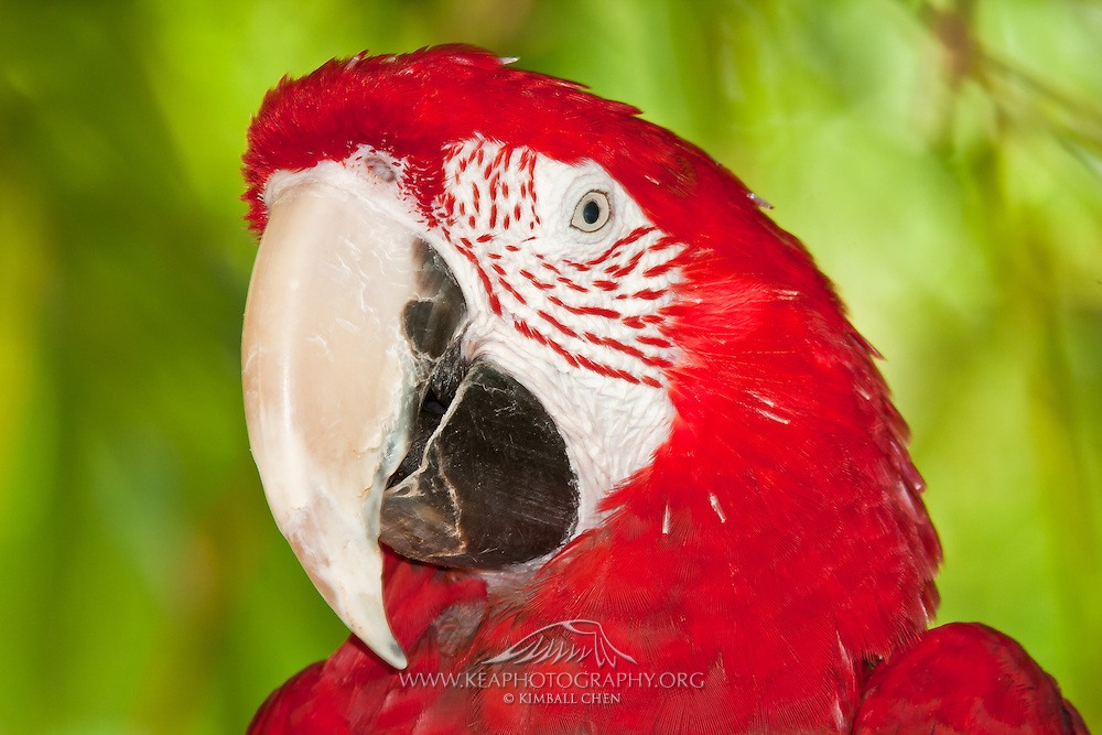 Portrait of a Scarlet Macaw, Ara macao