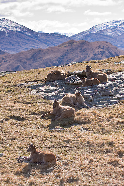Himalayn Tahr, New Zealand