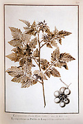 tomato plant Self impression from Nature Self Impressions manuscript by Jean-Nicolas La Hire Published in Paris in 1720