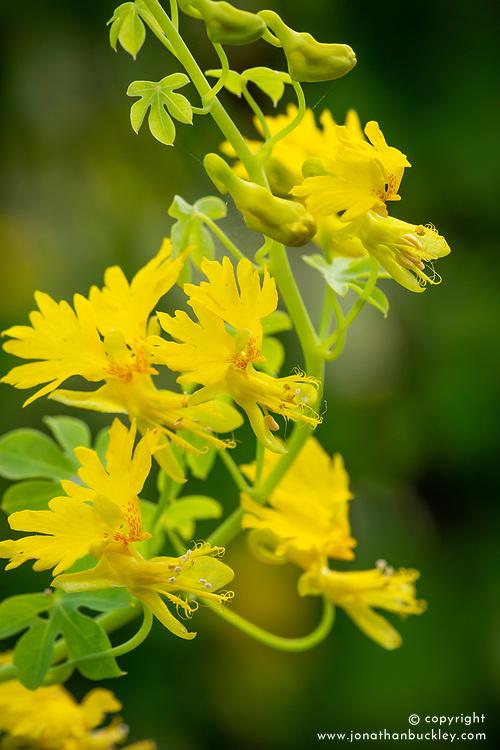 Tropaeolum peregrinum (Canary Creeper)