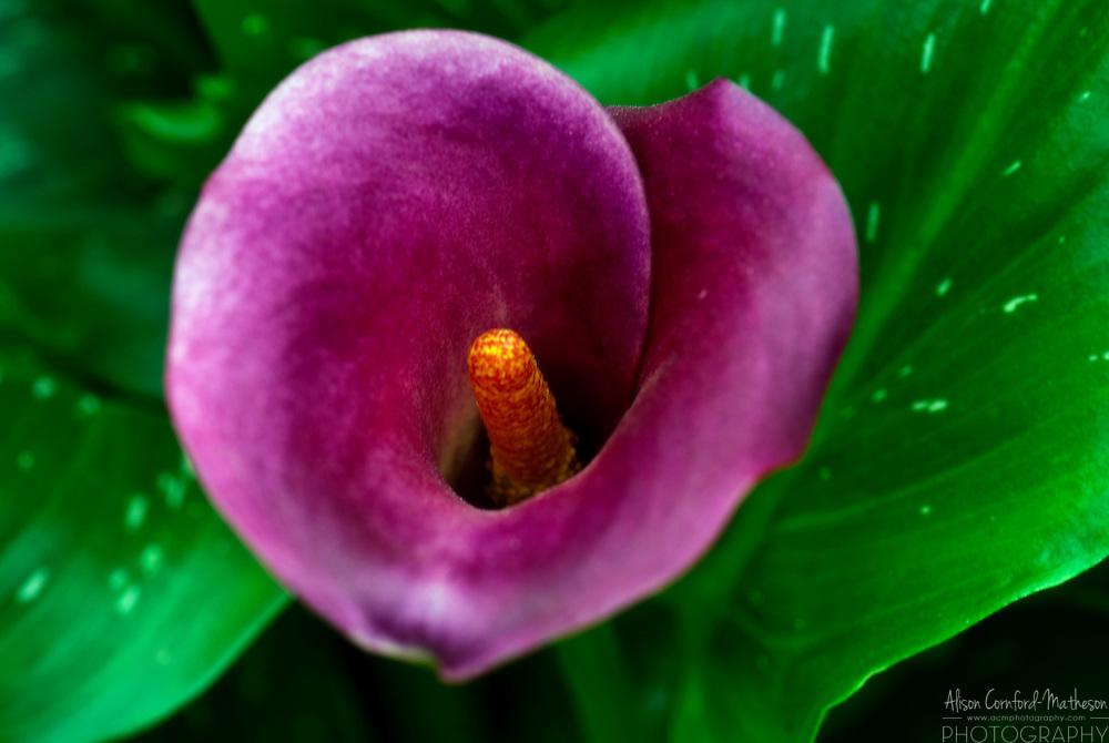 Deep Purple Calla Lily