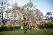 Weeping Higan Cherry, Tree Tour, Mapp Athens,