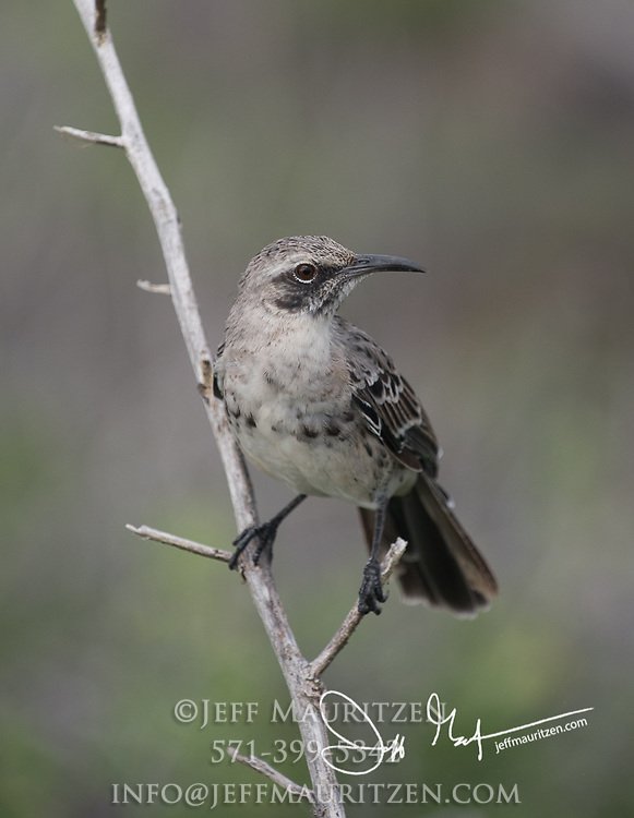 A Galapagos mockingbird perches on a branch on Española island in the Galapagos archipelago of Ecuador.