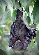 AUSTRALIA - SYDNEY  A fruit bat sleeps at the Royal Botanical Gardens in Sydney City Centre  04/01/2010. STEPHEN SIMPSON...