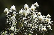Africa, Ethiopia, Simien mountains flowering white Paronychia plant (Silver nailroot)