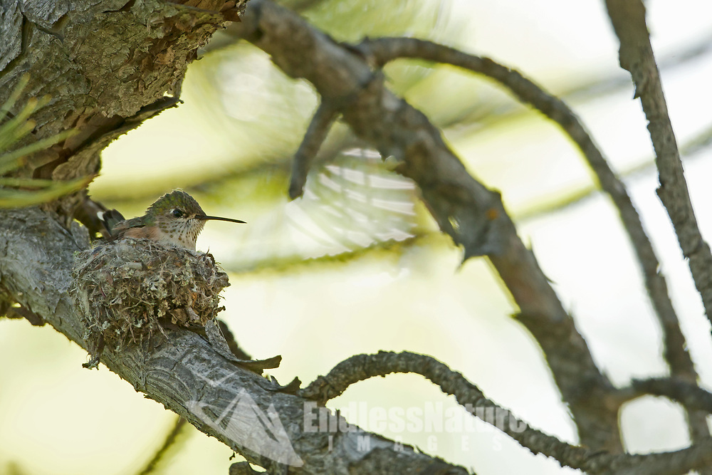 A Broad Tailed Hummingbird sits on its nest in a pine tree in upper Ogden valley in northern Utah.