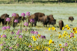 Rocky Mountain bee plant in front of bison herd, Vermejo Park Ranch, New Mexico, USA.