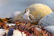 Semi-palmated Sandpiper, Seawall, Acadia National Park, Mount Desert Island, Maine