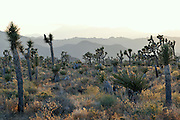 Landscape at Joshua Tree National Park