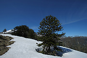 Late snow remains at Quinchol, a hill in the Huerquehue National Park in Chile's Lake District. The park is home to small mountains, waterfalls, lakes and abundant araucaria (monkey puzzle) trees