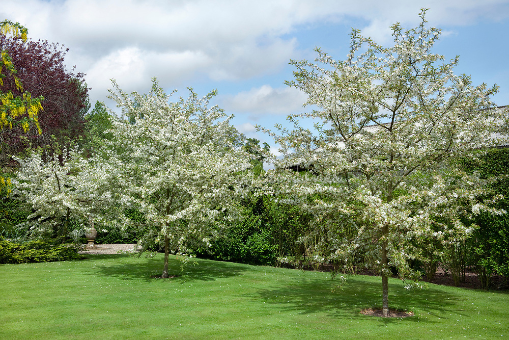 Malus transitoria (cut-leaf crabapple) with blossom in the Gold Garden at Gallery, Angus, Scotland