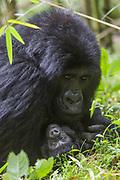 Mountain Gorilla<br /> Gorilla gorilla beringei<br /> One-month-old baby<br /> Parc National des Volcans, Rwanda