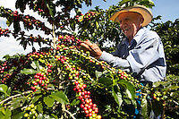 Rafael Ortíz at 72 years old is helping Wilmar Velasquez, to harvest his coffee at the finca San Carlos in the Vereda Las Andes in the municipality of Salgar in southwest Antioquia. The coffee finca of 4 Ha. has been in the family for several generations and Wilmar returned here seven years ago after the family had to flee the violence 20 years ago. He mostly works in the fields himself as well, and he has two men working permanently for him besides several more during harvest times.