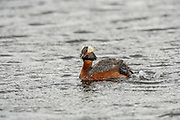 Horned Grebe, Chick getting on back
