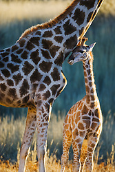 A small giraffe calf (Giraffa camelopardalis ) stays close to nuzzle its mother from underneath her neck for safety, Kalahari Desert, South Africa