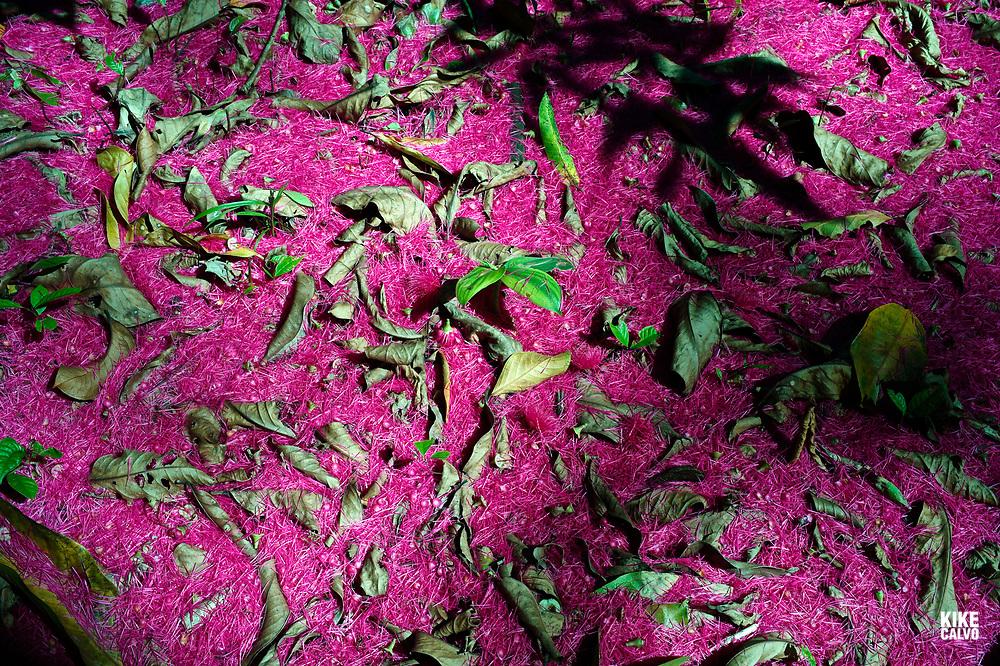 Malay apple tree flower petals aka Malay Apple Rose, Syzygium malaccense