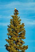 Bald Eagle (Haliaeetus leucocephalus) in spruce tree on shore of Lake of  the Woods<br />Lake of  the Woods<br />Ontario<br />Canada