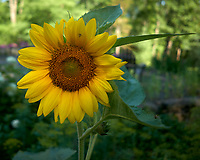 Sunflower. Image taken with a Leica CL camera and 18 mm f/2.8 lens